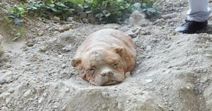 有人在散步的時候發現這隻奄奄一息的狗狗在土裡,靠近之後才發現這悲劇...
