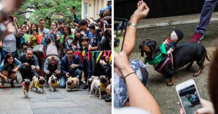 短腿狗狗賽跑大賽!一喊衝「巴哥VS臘腸狗」畫面太爆笑