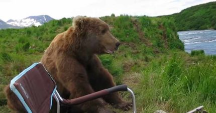 大棕熊河邊散心  一屁股坐攝影師旁邊:第一次來?我家很美齁~