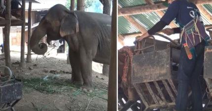 疫情沒遊客!泰國大象營「解放78隻大象」 「解下座椅」不再給騎:自由了