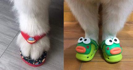 爆紅「寵物防水鞋鞋」奴才搶買 「台式夾腳拖」炸毛超可愛❤