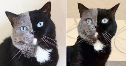 超罕見「雙面貓皇」當爸了!2個寶寶「一貓一色」:證明不是偷生的