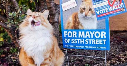 貓狗選市長戰況超激烈 橘貓「瘋狂抹黑對手」別想連任了!