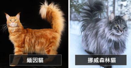 21種「貓貓品種」的起源...布偶貓其實「都只是虛胖」!